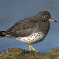 Surfbirds Birding Trip Report